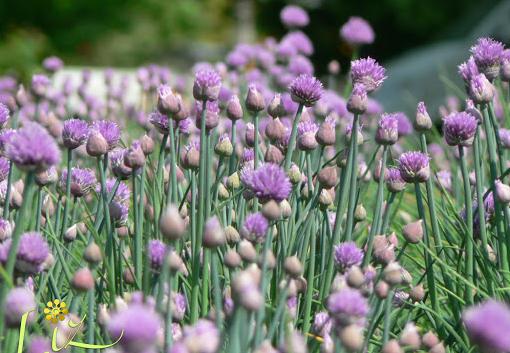 essiccare l'erba cipollina