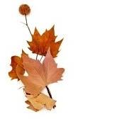 22302342-immagine-di-un-mucchio-di-foglie-secche-e-alcune-palline-di-semi-platanus-su-uno-sfondo-bianco
