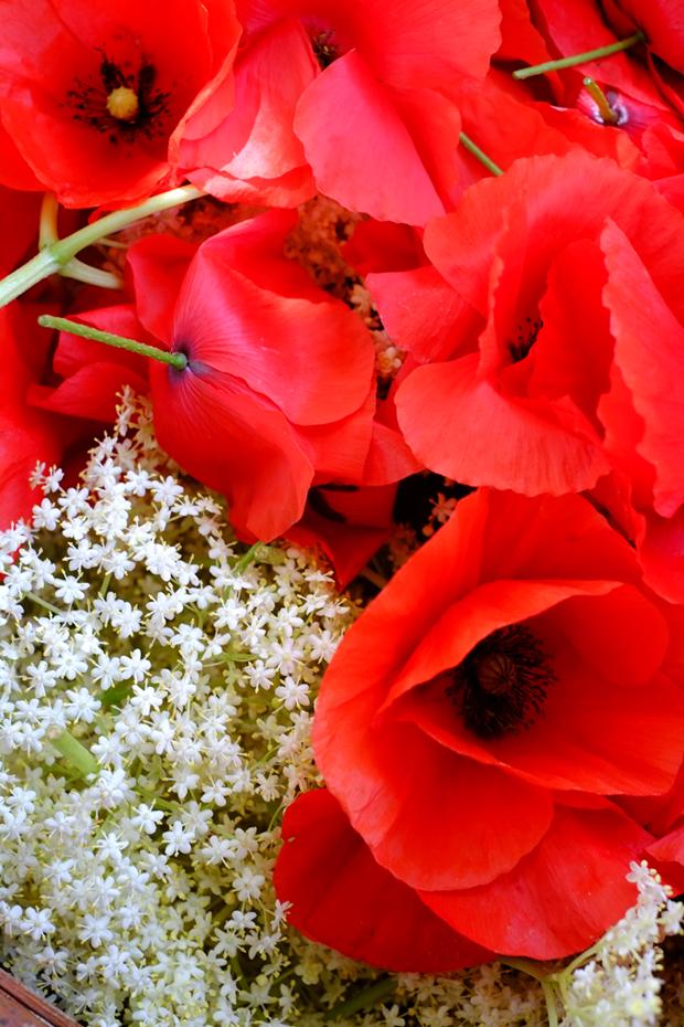 fiori essiccati papaveri