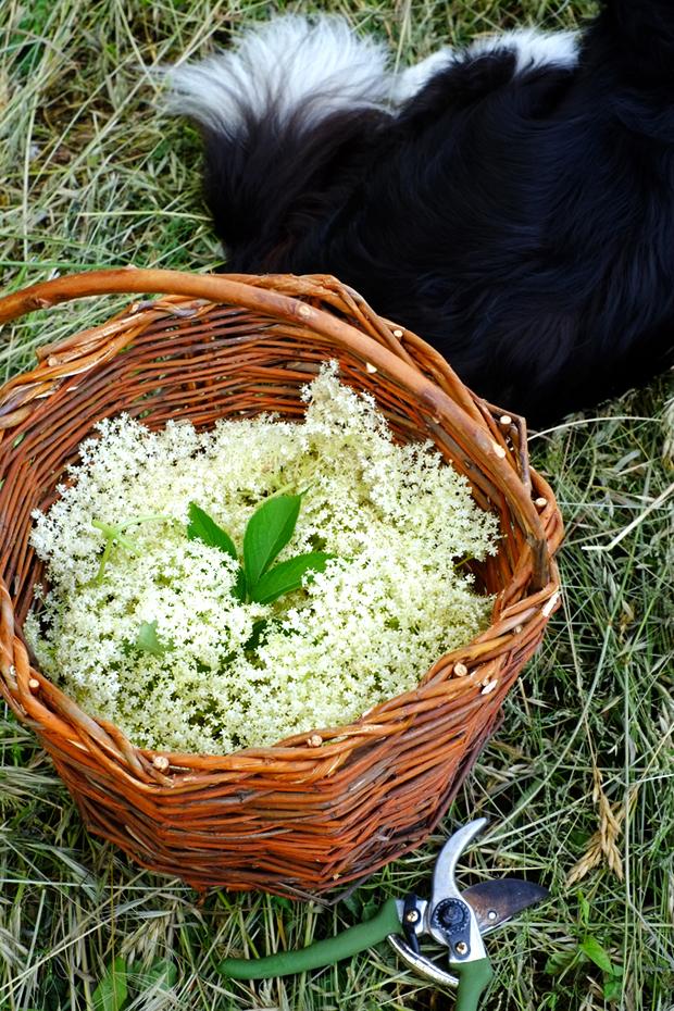 come usare i fiori di sambuco