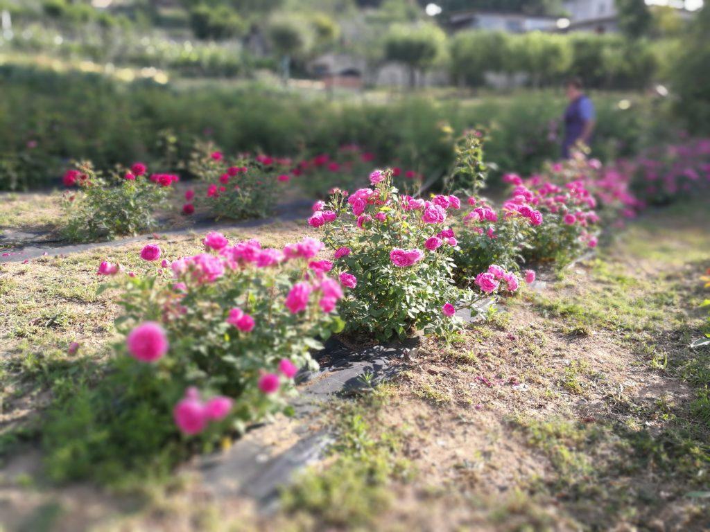 petali di rosa essiccati